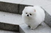 BCVC  @@@@ Charming Pomeranian up to date on shots. 07031964582